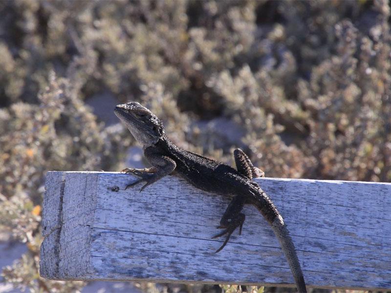 ODYSSEY-kimberley-expedition-cruises-lizard