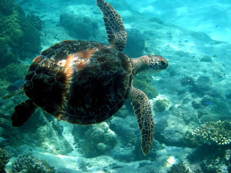 ROWLEY-SHOALS-turtle-in-water
